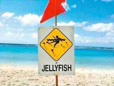 jellyfish in hawaii | Safe Sea